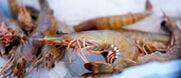 La crevette de Madagascar